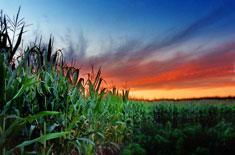 CFS cornfield sunset thumb