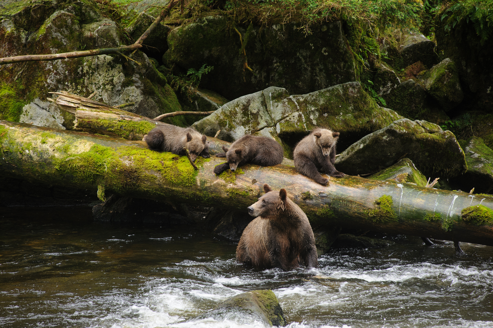 A mother and her cubs at Anan Creek in Tongass National Forest