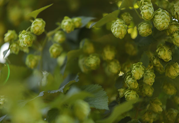 Hops at Goschie Farms - Silverton, Oregon