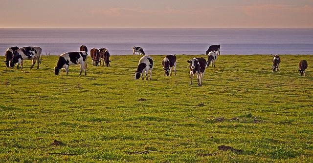 Cattle grazing in Marin
