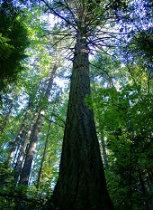 Old growth douglas fir