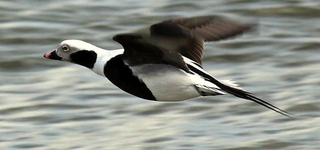 reding_mallard_duck_in_flight-bellingham.jpg